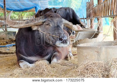 portrait image of Buffalos in corral, Thailand
