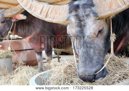 image of Buffalos chew hay in corral, Thailand