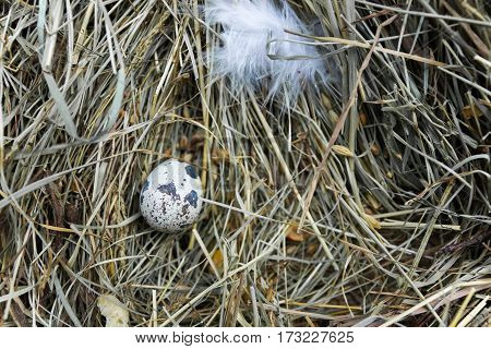 Quail Egg In The Center Of The Frame On Hay.