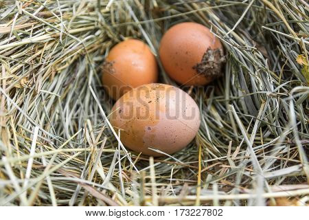 Dirty Eggs On Hay.