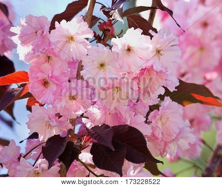 sakura branch with pink flowers and maroon leaves
