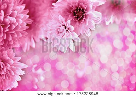 pink blurred background with bokeh and pink chrysanthemums