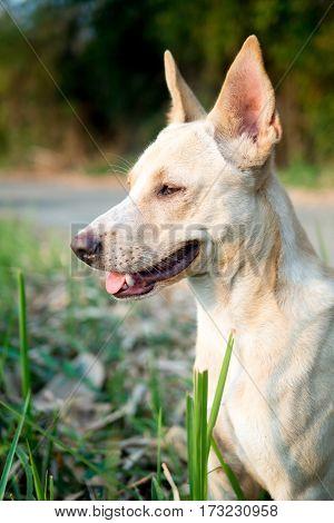 Thai dog standing pastel color short hair long ear