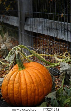 Pumpkin growing in garden by fence for fall harvest