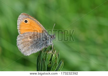 The Small Heath butterfly, Coenonympha pamphilus  on flower  in the grass