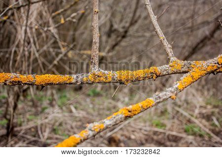 yellow mushroom on dry tree branches in early spring
