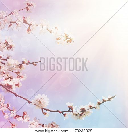 Abstract seasonal spring floral background. Blooming tree branches with apricot white flowers. For easter greeting cards with copy space