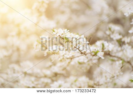 Spring seasonal background with blooming plum tree branches and sun rays, natural seasonal floral background