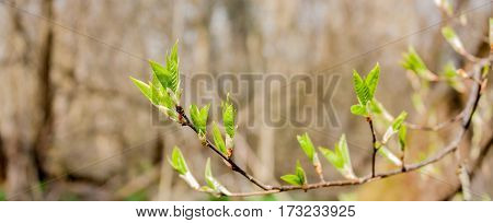 the first green leaves on the branches of trees