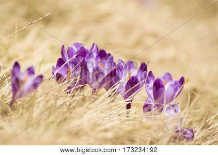 Beautiful violet crocuses flower growing in the dry yellow grass, the first sign of spring. Seasonal easter natural background.
