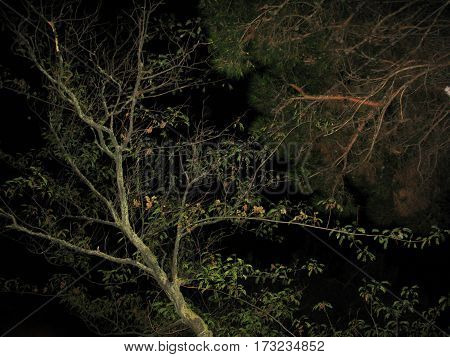 Night darkness tree fir coniferous branch on the black sky