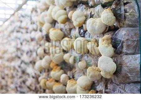 The Mushroom cultivation farm in Wangnamkeaw, Thailand
