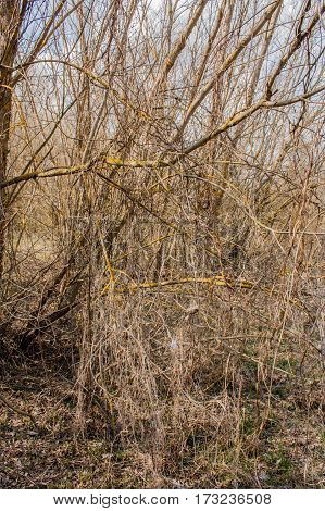 dry entwined branches of bushes without leaves