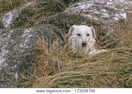 white dog lying in the manger, in the straw hiding, disguise