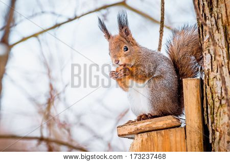Squirrel in the park sitting on the tree gnawing hazelnut