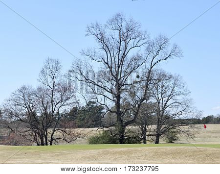 Barren trees on a golf course at winter time season