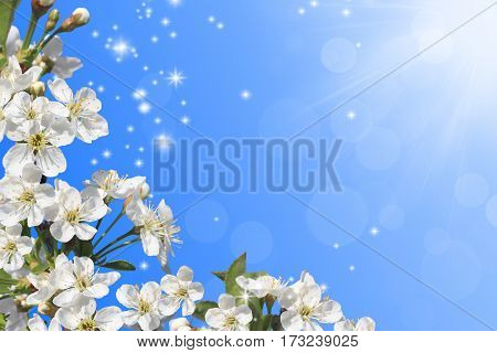 Spring flowering - White flowers of cherry tree and sunshine in the sky.