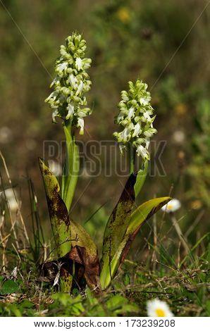 White Flowered Giant Orchid Plants - Himantoglossum Robertianum