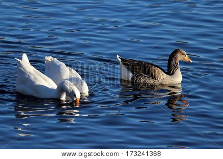 Varieties of Toulouse geese- brown and white swimming together on a pond