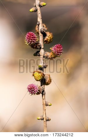 larch branch with buds in spring closeup