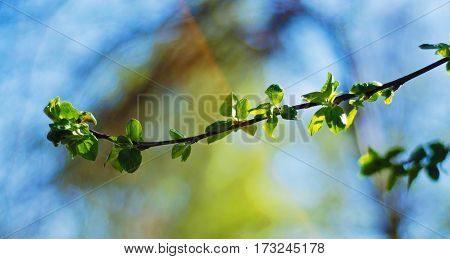 The young bright green leaves on blue sky background in spring
