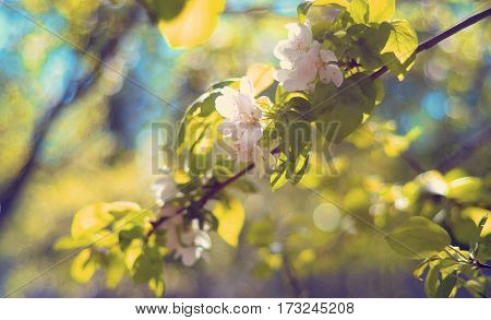 Beautiful delicate creamy white flowers with green leaves on the apple tree in the spring