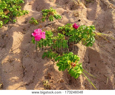 Pink wild rose bush on the sandy shore of the Gulf of Finland.