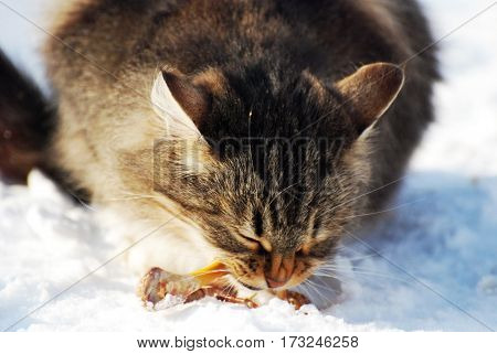 Fluffy cat eating chicken bones in the snow