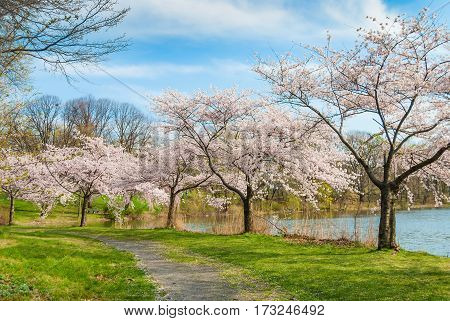 Spring time in Branchbrook Park in Newark with cherry blossom tree's lining the path.