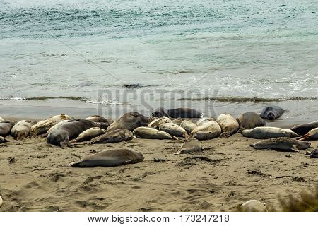 Male elephant seals are much larger than the females and have a trunk-like nose from which the species gets its name.