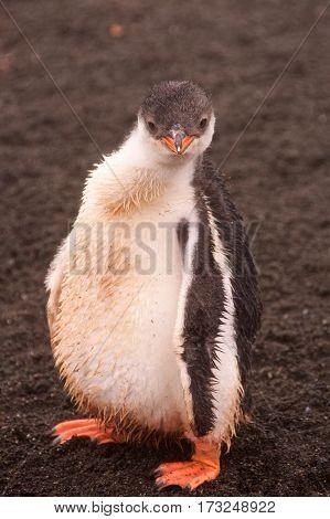 Gentoo penguin chick on Aitcho Islands in Antarctica