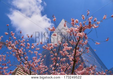 Bloom of the Sakura in Paris. There are some trees of Sakura in the La Defense, the major business district of Paris. And it is the magnificent spectacle to see the blossom of them against modern skyscrapers.