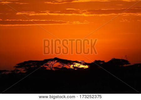 Acacia trees at the African savanna with sunrise Serengeti national park Tanzania.