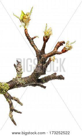 Fruit-tree Twig With Flower Buds