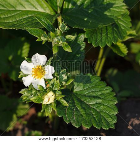 Garden Strawberry Flower