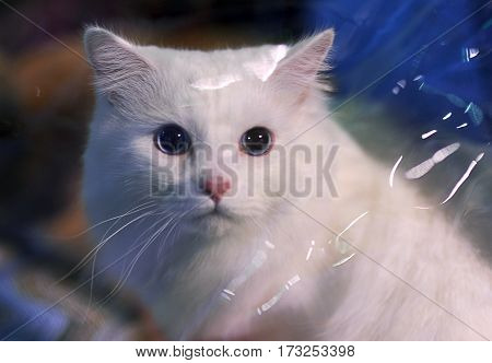 Turkish Angora at cat show in Moscow.