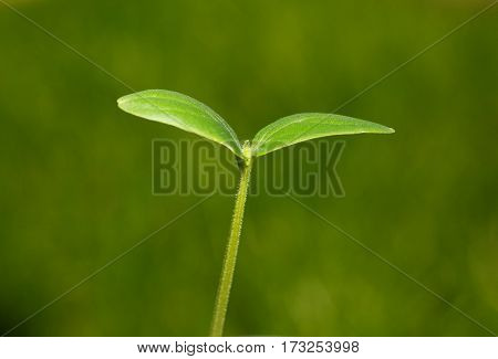 Seedling Over Green