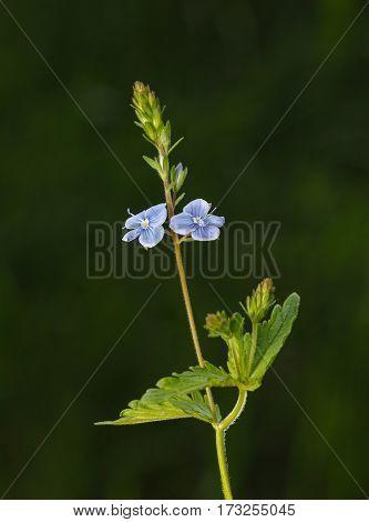 Speedwell Flower