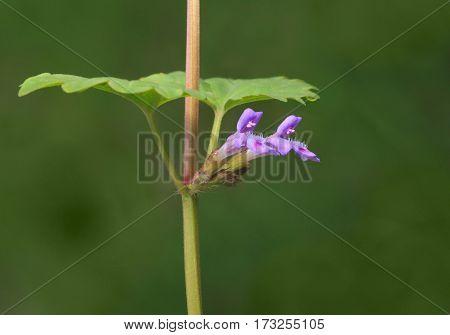 Ground Ivy Blossom