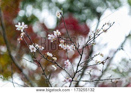 Japanese Cherry Blossom Or Sakura On Leafless Branches