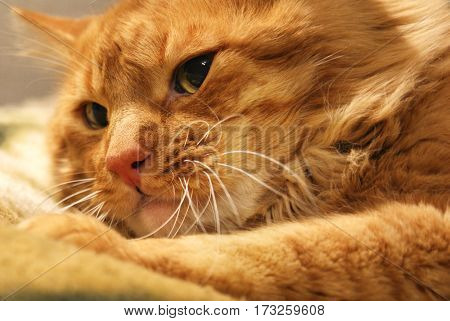 Red cat breed angora close, annoyed muzzle