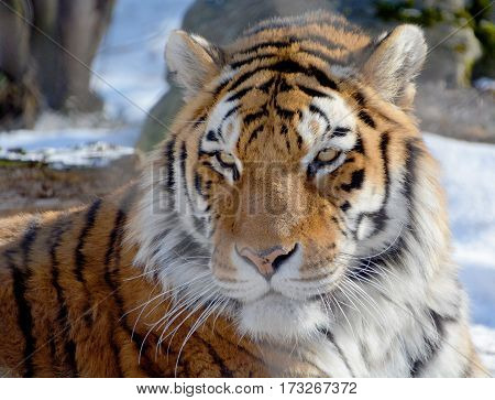 Tiger close up: The tiger (Panthera tigris) is the largest cat species. It is the third largest land carnivore (behind only the polar bear and the brown bear).