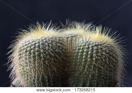 Closeup of The Golden ball cactus. Echinocactus.