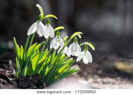 Spring Snowdrop Flowers Blooming In Sunny Day