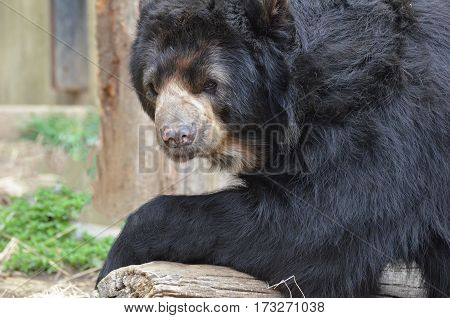 Sweet face of a black bear leaning on a log.