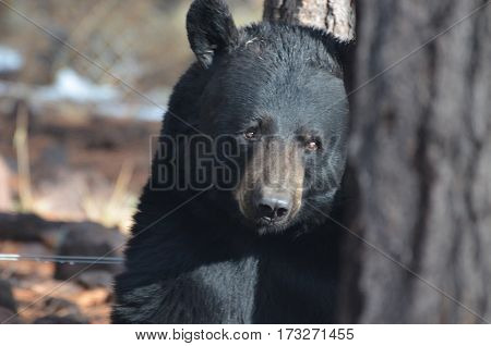 Black bear with his face leaning beside a tree.