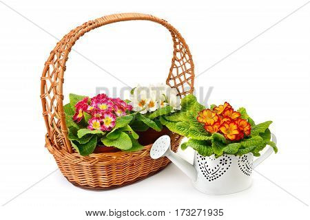 Flowering primrose in a wicker basket and a decorative watering can isolated on white background.