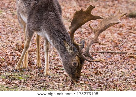 Fallow deer (Dama dama) grazing on forest ground covered with autumn leaves