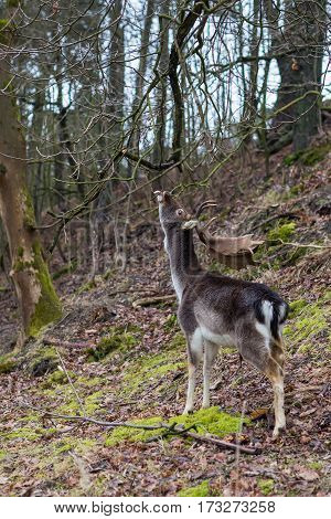 Deer reaching up to reach higher branches in a forest extended tongue visible
