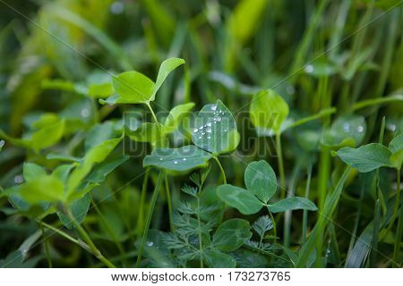 Beautiful Nature Background Fresh green clover with dew drops closeup. Horizontal Colorful Wallpaper with selective focus.